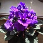Фото - Цветы фиалки в горшочке