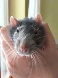Фото - Серая домашняя крыса