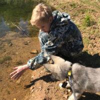Фото - Щенок - лайка Астрид на первой настоящей осенней охоте