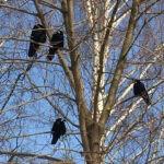 Фото - Грачи прилетели. Птицы на берёзе