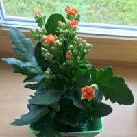 Фото - Красивые Цветы Каланхоэ на Подоконнике